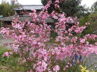 春のピンク - アオモジノキモチ