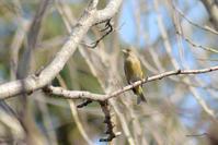 神社でカワラヒワなど - Bird-Watching Journal