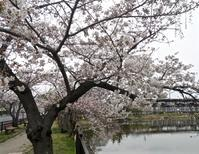 春です,「近くの公園」では桜,レンギョウ,シモクレンも満開です - 楽餓鬼