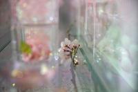 桜を飾って - Today's one photograph