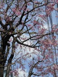 桜満開とジャリナール - あの日、あの時、あの場所で