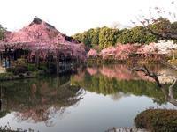 京都平安神宮の桜、水影の妙 - イタリア写真草子 Fotoblog da Perugia