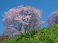春爛漫 - まほろば 写真俳句