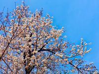 表参道の桜も満開♪頑張れ新入社員! - 八巻多鶴子が贈る 華麗なるジュエリー・デイズ