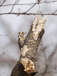 秋ヶ瀬公園の野鳥 - コーヒー党の野鳥と自然 パート2