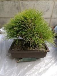 植え替え松とローズマリーまずは松 - もとmocambo