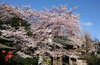 2017、櫻、咲く。-八:武蔵野稲荷神社の一本桜 - デハ712のデジカメ日記2017
