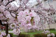 造幣局の桜の通り抜け@2017-04-07 - (新)トラちゃん&ちー・明日葉 観察日記