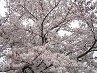 賀茂川の桜が満開です2017年4月7日 - LLC徒然