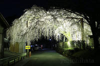 しだれ桜ライトアップ - みちはた写真館フォトギャラリー