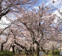 桜とぺろ - ぺろ日記