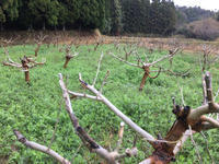 猿投の桑畑が💦 - マルベリークラブ中部 <自然の叡智を桑・蚕に学ぼう 環境保全・里山づくり>