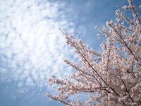 桜 - 空を見上げて