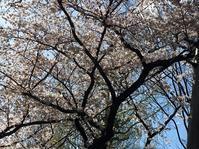 車でお花見!@府中・桜通り。 - Welcome to Koro's Garden!