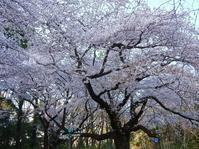 小金井公園の桜。 - Welcome to Koro's Garden!