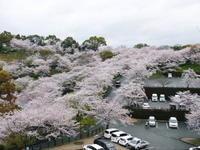 菊池神社、平成29年の菊池公園の桜の見ごろは明日(4月8日)です!桜photoコレクション 2017 - FLCパートナーズストア