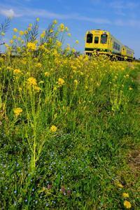 菜の花築堤をゆく、いすみ300形+いすみ350形 いすみ鉄道 - My B Side Life season2