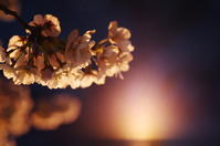 夜桜 - day pHoto