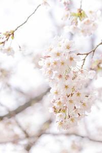2017年の桜と桃の花 - Be strong and happy!