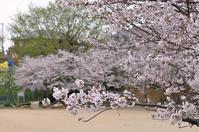 ようやく桜満開 - AR75TS