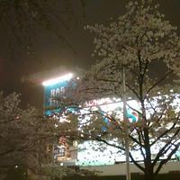 渋谷ハチ公前の桜も見ごろです - 新丸子の不動産屋、 マンション管理士です