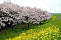 桜はむずかしい。 - Taro's Photo