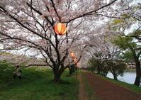 2017酒津公園の夜桜 - 花と小鳥の図鑑風