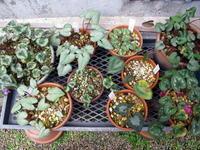 原種シクラメンも終焉 - リリ子の一坪ガーデン