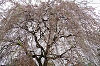 「サクラサク」 - ほぼ京都人の密やかな眺め