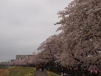 桜まつり終わってるけど・・・多摩川堤防沿いの桜 (今年は福生:2017/4/9) - わが愛しのXXX。