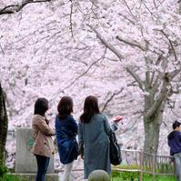 桜、満開でした。 - various things