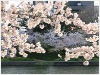 今年のお花見は岡崎公園、大分とは違う景色を楽しんできました - さくらおばちゃんの趣味悠遊