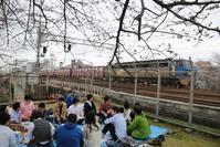 春爛漫夙川公園の桜が満開です・・・行って見ましょう美しい日本の桜を、鉄道写真 - 藤田八束の日記