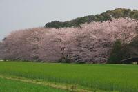 桜三昧 - おいさんの休日山歩き日記