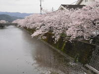 桜シャワー佐川なう - ひろしの「どっこい田んぼのジャージーデー」