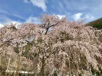続いて…清雲寺のしだれ桜 - sakurairo