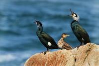 ウミウ - 北の野鳥たち