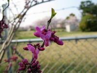 桜とハナズオウと山椒 - M's Factory