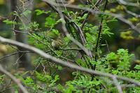 カラフトムシクイ04月08日 - 旧サンヨン野鳥撮影放浪記