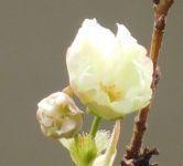 アジュガ、黄桜 - うまこの天袋