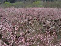 長野そぞろ歩き:アンズ咲く - 日本庭園的生活