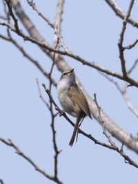 春先にウグイスのぐぜり - コーヒー党の野鳥と自然 パート2