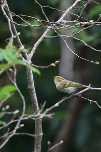 珍鳥カラフトムシクイ - 野鳥公園
