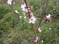 暖地桜桃の葉に異変 - 自然農☆☆☆菜園日記