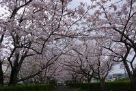 桜は・・・ - kogomiの気ままな一コマ