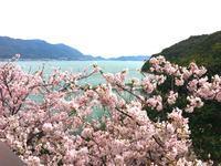 「ここから」の桜の様子 - 「ここから」 ブログ
