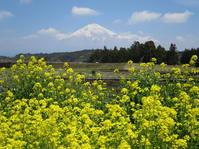 菜の花と染井吉野の開花情報です - 富士山大好き~写真は最高!