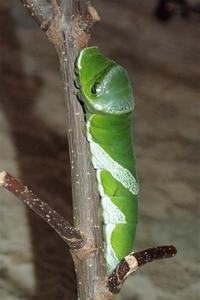 春待ち蛹経緯クロアゲハ前蛹に - おらんくの自然満喫