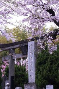 桜巡り⑤諏訪神社~乗蓮寺 - 子猫の迷い道Ⅱ