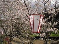 雨上がり佐川♯桜なう - ひろしの「どっこい田んぼのジャージーデー」